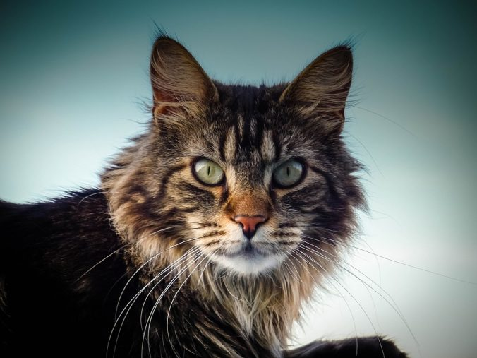 Maine Coon1_2