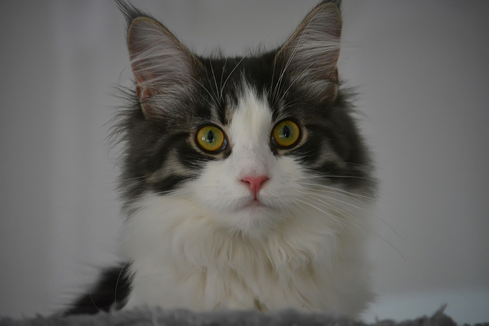Maine Coon1_3